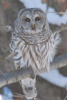 Sue_Lund_Photography_Barred_Owl